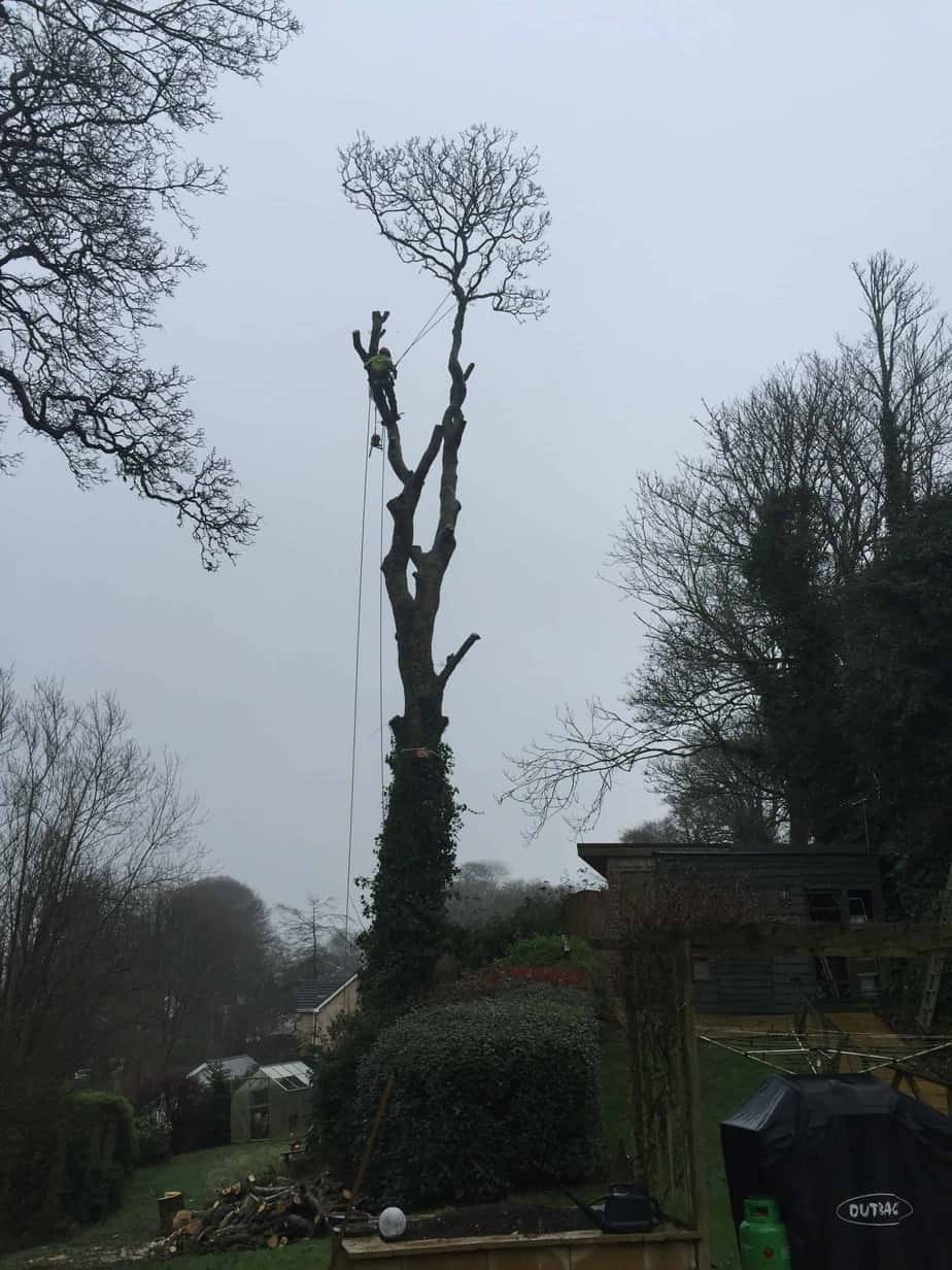 Sycamore-removal-St-Columb